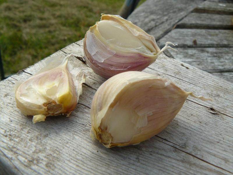 Garlic howtogrowgarlic-sm